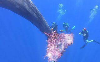 Αυτή θα ζήσει. Καλυμμένο όλο το σώμα της με δίχτυα παρατημένα στην θάλασσα ήταν η φάλαινα της φωτογραφίας. Οχι μακριά μας αλλά στην Ιταλία και συγκεκριμένα στις Αιολίδες νήσους της Σικελίας, το λιμενικό κατάλαβε το πρόβλημα του θηλαστικού και δύτες με μαχαίρια άρχισαν να κόβουν σε κομμάτια τα τεράστια δίχτυα που την σκέπαζαν. Στην φωτογραφία οι δύτες προσπαθούν να κόψουν και το τελευταίο κομμάτι στην ουρά της. Courtesy of Carmelo Isgro' / MuMa Museo del Mare di Milazzo / Handout via REUTERS
