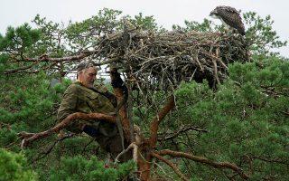 Επισκέψεις. Ο 73 χρονος ορνιθολόγος Vladimir Ivanovski, ανεβαίνει σε μια φωλιά αετών στο Koziansky της Λευκορωσίας. Με αυτόν τον τρόπο, σκαρφαλώνοντας στις κορφές των δέντρων επιβλέπει τους πληθυσμούς της περιοχής.  REUTERS/Vasily Fedosenko
