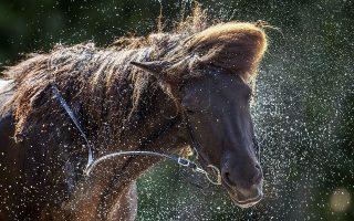 Ζέστη. Το νερό πετάει από πάνω του ένα άλογο σε φάρμα στην Φρανκφούρτη. Τα δροσερά μπάνια είναι απαραίτητα για τα ζώα την περίοδο του καλοκαιριού. (AP Photo/Michael Probst)