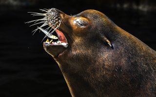 Κατεψυγμένα. Αν και πάντα φροντίζουν την διατροφή των ζώων αυτή την φορά έφαγαν το φαγητό τους από την κατάψυξη. Οπως το ψαράκι που ετοιμάζεται να καταπιεί ο θαλάσσιος ελέφαντας. Σκοπός όχι η οικονομία αλλά η προσπάθεια να κρατηθούν μέσα στο κατακαλόκαιρο και με υψηλές θερμοκρασίες, τα ζώα δροσερά. Η φωτογραφία από τον ζωολογικό κήπο των Σκοπίων.  EPA/GEORGI LICOVSKI