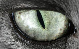 Το αιλουροειδές του σπιτιού μας. Δεν την κουνάει την ουρά της, την στρίβει όμως στις γάμπες του ανθρώπου της. Δεν σε κοιτάει στα μάτια όπως οι σκύλοι αλλά σε έχει πάντα στην άκρη του ματιού της. Και τι μάτια! Στην φωτογραφία μια οικόσιτη γάτα στο Gelsenkirchen, της Γερμανίας. (AP Photo/Martin Meissner)