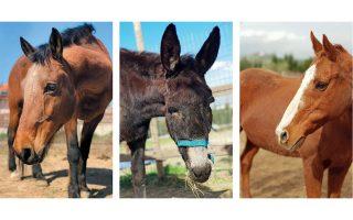Ο Αρης, ο Στρατής και η Νικολέτα είναι μερικά από τα ιπποειδή που φιλοξενούνται στις εγκαταστάσεις του συλλόγου στο Μαρκόπουλο.