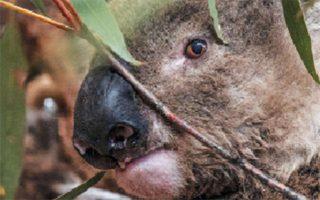 Κοάλα εκτοπισμένο στην Καμπέρα, μετά τις πυρκαγιές στην Αυστραλία, τον περασμένο Ιανουάριο. (Φωτ. REUTERS)