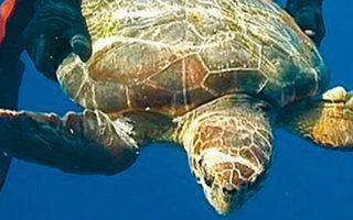 Φωτογραφία που έδωσε στη δημοσιότητα η ιταλική ακτοφυλακή και απεικονίζει έναν δύτη τη στιγμή που απελευθερώνει μία θαλάσσια χελώνα. (Φωτ. REUTERS)