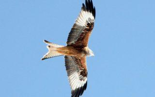 Η επιτυχής διάσωση του απειλούμενου είδους αετών έκανε τον επικεφαλής της Natural England να εκφράσει την αισιοδοξία του για επανάληψη του φιλό- δοξου πειράματος με άλλα προς εξαφάνιση είδη.