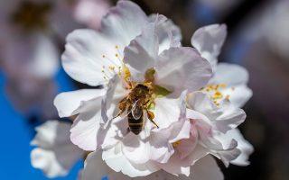 Εξαιρετικά χρήσιμα έντομα οι μέλισσες, σύμφωνα με πρόσφατη μελέτη, έχουν μαθηματικές δεξιότητες.