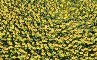 Το κατακίτρινο λιβάδι βρίσκεται στο Ελσίνκι. Ο δήμος της πόλης έσπειρε και πότισε τους ήλιους με σκοπό κάθε κάτοικος που θέλει να στολίσει το σπίτι του με λίγο ακόμη καλοκαίρι, να μπορεί να το κάνει ελεύθερα και δωρεάν.  EPA/KIMMO BRANDT