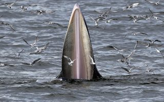 epaselect epa08665729 A Bryde's whale and seagulls feast on anchovies in the Gulf of Thailand, 12 September 2020 (issued 13 September 2020). Bryde's whales have been spotted more frequently after the absence of tourists and reduction of human activities due to the COVID-19 coronavirus pandemic which raises hopes of the marine ecosystem restoring after years of damage by tourism. Bryde's whale is a baleen medium sized whale with dark grey color and a white underbelly living in tropical to temperate waters. An estimated population of 40 to 60 Bryde's whales are commonly seen along the upper Gulf of Thailand coastlines between September to December. The Bryde's whale is listed in the Convention on International Trade in Endangered Species of Wild Fauna and Flora (CITES) which prohibits international trade of any parts of the animal.  EPA/RUNGROJ YONGRIT