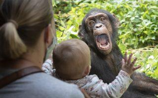 Αν η έκφραση του χιμπατζή συνοδεύεται και από τα συνηθισμένα ουρλιαχτά τους τότε το μωρό της φωτογραφίας μάλλον δεν θα πατήσει ξανά σε ζωολογικό κήπο. Ο Lome και ο Lodo δύο νεαρά αρσενικά έφτασαν στο Osnabrueck  με σκοπό να τονώσουν την σύσταση του πληθυσμού  εξού και η αναστάτωση στο κλουβί. (Friso Gentsch/dpa via AP)