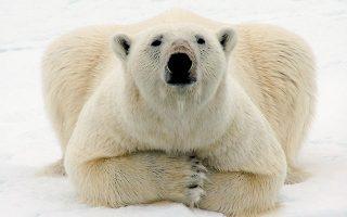 Eίδη όπως η πολική αρκούδα κινδυνεύουν άμεσα εξαιτίας της κλιματικής αλλαγής, για την οποία ευθύνεται κυρίως η ανθρώπινη δραστηριότητα (φωτ. A.P.).