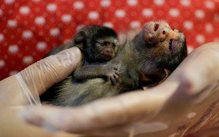 Η κτηνίατρος Carine Hanna κρατά την Xita και το νεογέννητο μωρό της. Η μικροσκοπική μαϊμού ( Rondon's marmoset)  διασώθηκε από την περιβαλλοντική αστυνομία που πήγε την  λεχώνα στο καταφύγιο ζώων. Σύμφωνα με τους κτηνιάτρους μητέρα και μωρό πρέπει να πατήθηκαν από αυτοκίνητο -συχνό φαινόμενο τα αυτοκίνητα πια- καθώς ο τεράστιος πνεύμονας της Γης, ο Αμαζόνιος, πετσοκόβεται, καίγεται και καλλιεργείται. Η Xita σιγά σιγά έγινε καλύτερα με την φροντίδα στην κλινική, το μικρό της όμως δεν τα κατάφερε.  REUTERS/Ueslei Marcelino