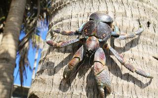 Οι κάβουρες κλέφτες είναι γνωστοί και ως coconut crabs, λόγω της ικανότητας τους να σκαρφαλώνουν στα δέντρα για να αρπάξουν τις καρύδες που τόσο λαχταράνε. (Φωτ. SHUTTERSTOCK)