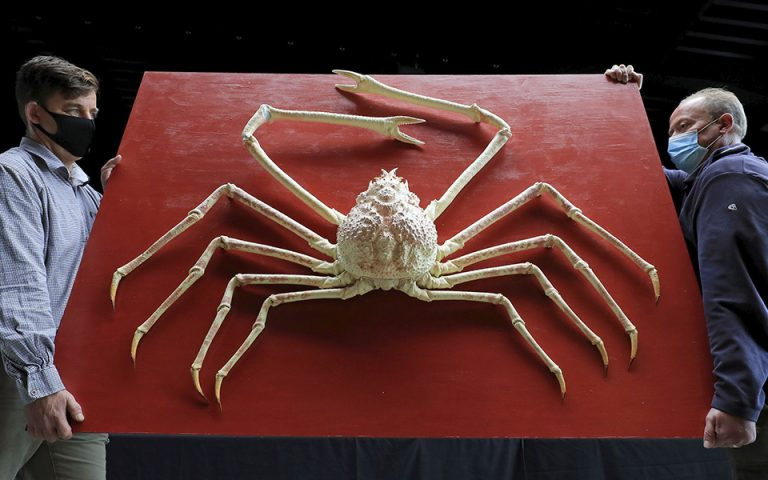 A rare giant Japanese spider crab is moved into the sale room during a preview for the forthcoming Evolution Sale at Summers Place Auctions in Billinghurst, England, Tuesday Oct. 27, 2020.  The crab carries an estimate value of 8 - 12 thousand pounds sterling (10,400 - 15,600 dollars US), for the auction on November 24. (Gareth Fuller/PA via AP)