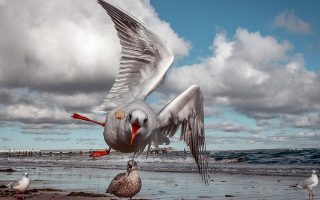 A seagull flies to catch a piece of bread thrown by a tourist on the coast of the Baltic Sea in Timmendorfer Strand, northern Germany, Saturday, Oct. 17, 2020. (AP Photo/Michael Probst)