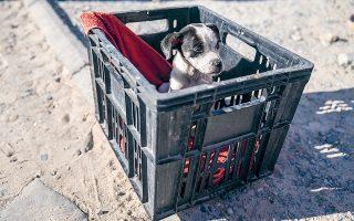 Eξίσου τραυματικά για τα ζώα είναι τα περιστατικά παθητικής κακοποίησης, όπως μόνιμο αλυσόδεμα, μη χορήγηση τροφής, έκθεση σε ακραίες καιρικές συνθήκες κ.ά., τα οποία επισύρουν ποινές φυλάκισης και πρόστιμα (φωτ. EPA).