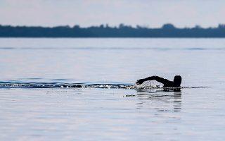 Σε μια δεύτερη μελέτη σε χειμερινούς κολυμβητές, διαπιστώθηκε ότι οι συγκεντρώσεις της επίμαχης πρωτεΐνης αυξάνονταν όταν η θερμοκρασία του σώματος έπεφτε κάτω από τους 34 βαθμούς Κελσίου (φωτ. A.P.).