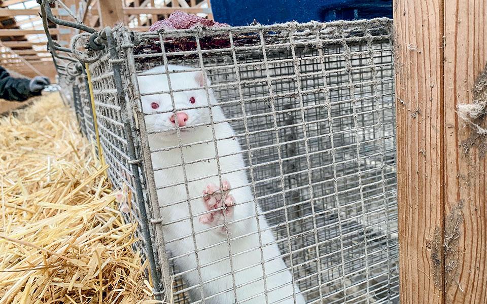 Η κυβέρνηση της Δανίας, προκειμένου να αποσοβήσει τον σοβαρό κίνδυνο, αποφάσισε τη θανάτωση του συνόλου των εκτρεφόμενων μινκ, δηλαδή 17 εκατομμυρίων ζώων.
