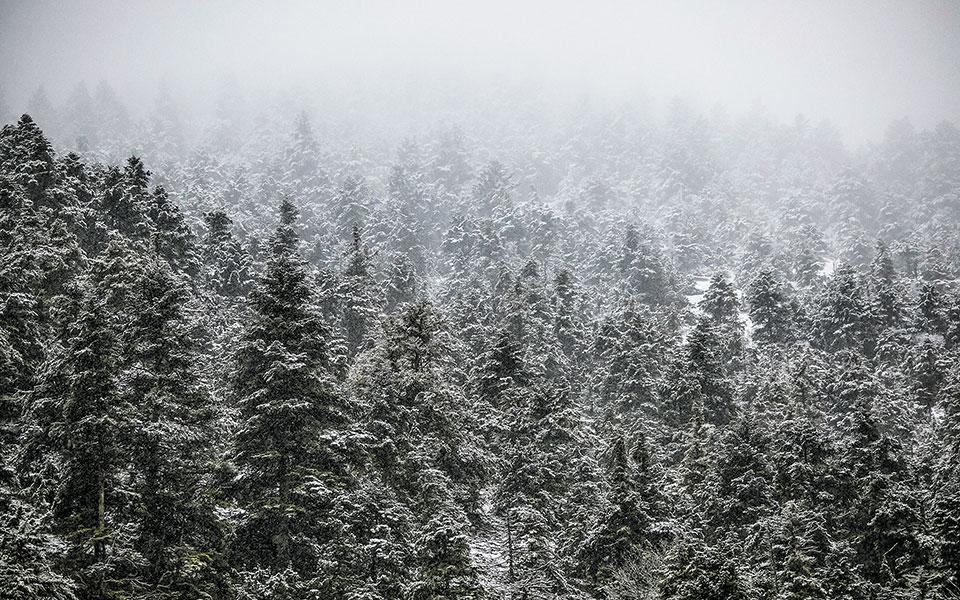 Το υπουργείο Περιβάλλοντος εξέδωσε πριν από πέντε ημέρες την ετήσια απόφαση, με την οποία εγκρίνει την υλοτόμηση δέντρων από καλλιέργειες σε όλη τη χώρα για χριστουγεννιάτικη διακόσμηση (φωτ. INTIME NEWS).