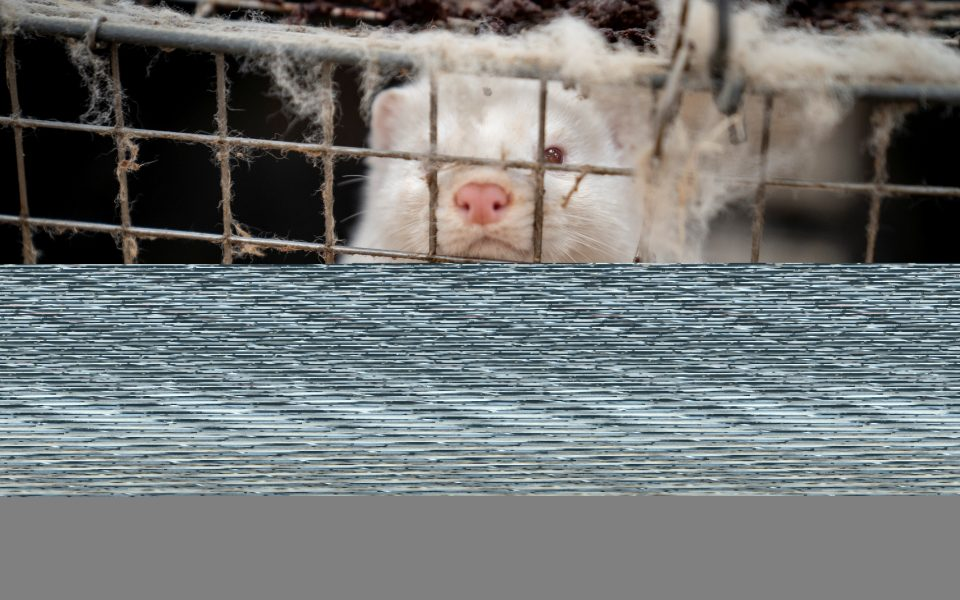 A mink is seen at the farm of Henrik Nordgaard Hansen and Ann-Mona Kulsoe Larsen near Naestved, Denmark, November 6, 2020. Ritzau Scanpix/Mads Claus Rasmussen via REUTERS. ATTENTION EDITORS - THIS IMAGE WAS PROVIDED BY A THIRD PARTY. DENMARK OUT. NO COMMERCIAL OR EDITORIAL SALES IN DENMARK.
