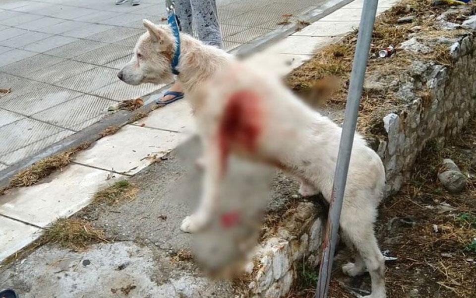Πρόσφατα στη Νίκαια, ένας άντρας μαχαίρωσε επανειλημμένως ενώ ένας ακόμη στη συνέχεια χτυπούσε με σκουπόξυλο έναν τρομαγμένο σκύλο, τον Εκτορα (φωτ.). Επειτα από παρέμβαση των περιοίκων, το άτυχο ζώο μεταφέρθηκε σχεδόν ημιθανές σε κτηνίατρο. Στάθηκε τυχερό και επέζησε.