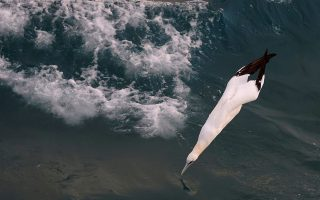 A Morus Bassanus, known as Northern Gannet, dives to fish as the Boulogne-sur-Mer based trawler