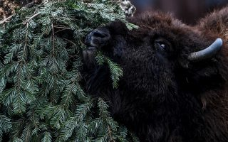 epa08924306 A Bison eats a Christmas tree in its enclosure in the Tierpark Zoo, in Berlin, Germany, 07 January 2021. The Zoo uses leftover Christmas trees to feed animals after Christmas.  EPA/FILIP SINGER
