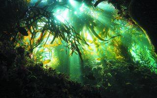 Ο βραβευμένος κινηματογραφιστής και δύτης αφιέρωσε σχεδόν μία δεκαετία στην εξερεύνηση του μεγάλου υποθαλάσσιου δάσους των κελπιών στο Δυτικό Ακρωτήριο της Νότιας Αφρικής, κοντά στις ακτές του Κέιπ Τάουν.  Φωτ. CRAIG FOSTER