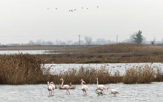 Τα φλαμίνγκο βρίσκουν άφθονη τροφή στα ρηχά νερά της λιμνοθάλασσας. Συντροφιά τούς κρατούν ένα σωρό πουλιά, όπως πελεκάνοι, χουλιαρομύτες, γλάροι (Φωτογραφίες ΚΩΝΣΤΑΝΤΙΝΟΣ ΤΣΑΚΑΛΙΔΗΣ / SOOC).