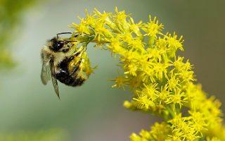 Από τα 100 είδη φυτών που παρέχουν το 90% των τροφίμων, τα 71 γονιμοποιούνται με τη μεταφορά γύρης από επικονιαστές, όπως οι μέλισσες. Φωτ. A.P. Photo / Jacqueline Larma