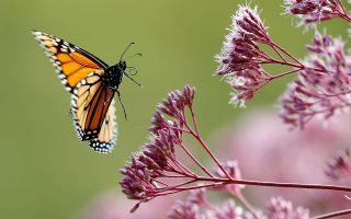 Σύμφωνα με μελέτη της Butterfly Conservation Europe, σήμερα στη Βρετανία υφίστανται οι μισές πεταλούδες από αυτές που υπήρχαν το 1976 (φωτ. A.P./Robert F. Bukaty).
