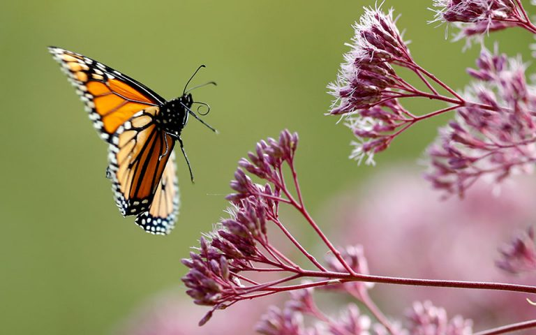 Μειώνονται οι πληθυσμοί εντόμων, «σπάνιες» πλέον οι πεταλούδες