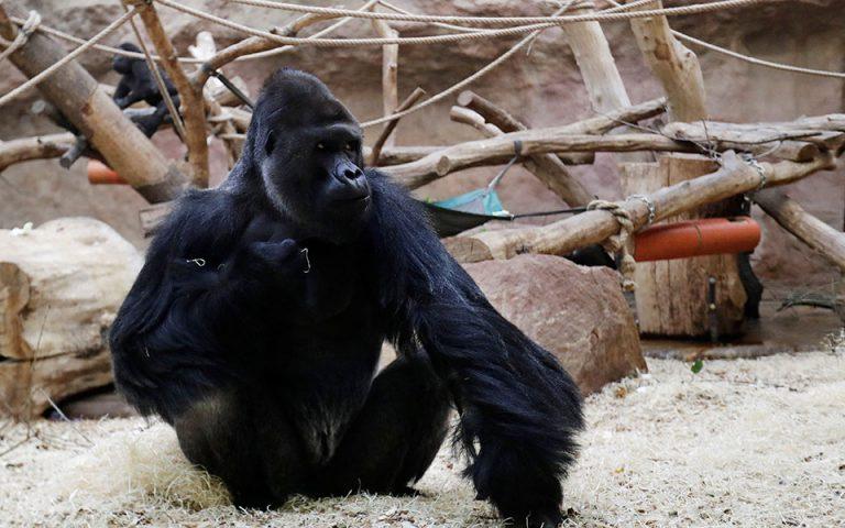 thetikoi-stin-covid-19-gorillas-kai-liontaria-stin-praga-561276868