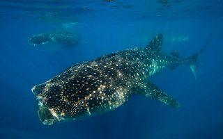 to-whale-shark-limited-edition-tis-oris-kai-i-ekstrateia-diasosis-toy-falainokarcharia-561275317