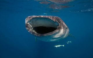 to-whale-shark-limited-edition-tis-oris-kai-i-ekstrateia-diasosis-toy-falainokarcharia-561275314
