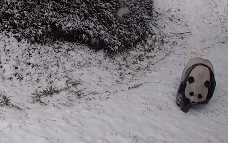 Γιγάντια πάντα παίζουν στα χιόνια (βίντεο)