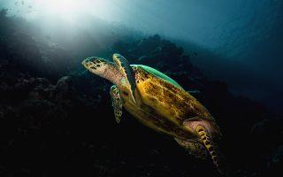 Μία χελώνα Hawksbill σε χαλαρή φάση κολυμπούσε αργά προς το φως του ηλίου στο Moalboal των Φιλιππίνων. © Pavlos Evangelidis/Wantok Photography