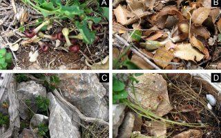 Φωτ: ΑΠΕ-ΜΠΕ - Το είδος A.microstoma έχει βρεθεί μόνο στη χώρα μας και - αντίθετα με άλλες Αριστολοχίες - βγάζει καφετιά όχι εντυπωσιακά λουλούδια που βρίσκονται οριζόντια, κοντά στο έδαφος ή μισοθαμμένα στο χώμα ανάμεσα σε σάπια φύλλα ή βράχια