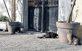 Oι αδέσποτες γάτες στους δρόμους έχουν αυξηθεί υπερβολικά, καθώς δεν είναι εύκολη η σύλληψή τους ώστε να στειρωθούν (φωτ. INTIME NEWS).