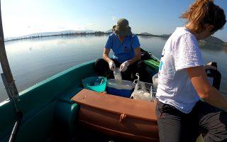 Επιστήμονες του Ινστιτούτου Ωκεανογραφίας του Ελληνικού Κέντρου Θαλασσίων Ερευνών (ΕΛΚΕΘΕ) πραγματοποιούν δειγματοληψία στις λιμνοθάλασσες Αμβρακικού, έτσι ώστε να προχωρήσει η διαδικασία «αναδάσωσης» των θαλάσσιων λιβαδιών.