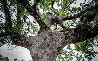 Και τα υπεραιωνόβια δένδρα παρέχουν ιστορικές πληροφορίες.