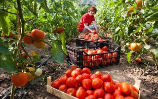 Τόνοι ντομάτας και αγγουριού καταλήγουν στα σκουπίδια. Στην καλύτερη περίπτωση για τροφή στα ζώα. (Φωτ. SHUTTERSTOCK)