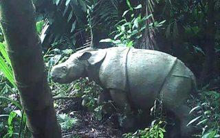 Το ζευγάρι των ρινόκερων, ηλικίας από τριών μηνών έως ενός έτους, καταγράφηκε από κρυφές κάμερες παρακολούθησησς στο εθνικό πάρκο Ujung Kulon