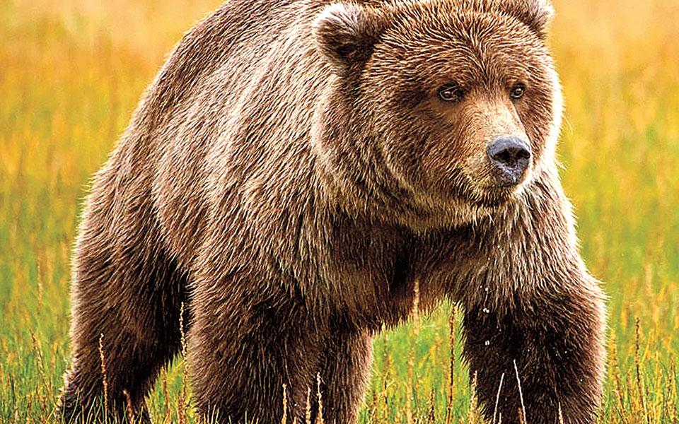 Κινηματογραφική επίθεση αρκούδας στην Αλάσκα
