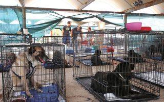 Εκατοντάδες οικόσιτα ζώα συντροφιάς αλλά και αδέσποτα διασώθηκαν από τη φωτιά σε Αττική και Εύβοια, κυρίως από εθελοντές. Στον καταυλισμό για πυρόπληκτα ζώα που στήθηκε στο Γαλάτσι φιλοξενούνται περισσότερα από 300, ενώ 16 ζώα των οποίων η κατάσταση είναι κρίσιμη μεταφέρθηκαν σε κλινικές της Αττικής (φωτ. ΑΠΕ-ΜΠΕ / ΑΠΕ-ΜΠΕ / ΟΡΕΣΤΗΣ ΠΑΝΑΓΙΩΤΟΥ).