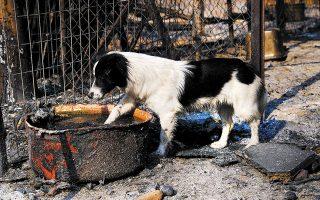 Μέλη φιλοζωικών οργανώσεων «χτένιζαν» χθες τις καμένες εκτάσεις για τον εντοπισμό νεκρών ζώων ή τη διάσωση όσων είχαν επιβιώσει από τη φωτιά (φωτ. SOOC).