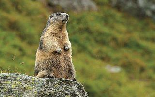 Η μαρμότα, ένα είδος τρωκτικού, που ζει σε ορεινούς και ψυχρούς βιοτόπους της Κεντρικής Ευρώπης.