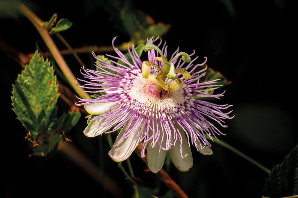 pasiflora-mega-li-i-cha-ri-tis1