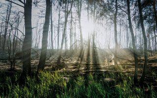 Αγριόχορτα, σπαράγγια και μικροί θάμνοι έχουν κάνει ήδη την εμφάνισή τους μέσα από το «κουκούλι» της στάχτης, στη σκιά των καμένων πεύκων. (Φωτογραφίες: Περικλής Μεράκος)