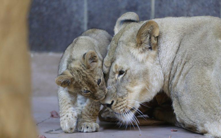oyasigkton-thetika-ston-koronoio-exi-liontaria-kai-treis-tigreis-toy-zoologikoy-kipoy-561503230