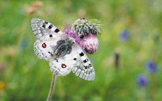 Χρηματοδότηση ύψους 1 εκατομμυρίου ευρώ έχει εξασφαλιστεί για την υλοποίηση του σχεδίου βιωσιμότητας της πεταλούδας Parnassius Apollo και του λουλουδιού Silene Holzmanii (φωτ. SHUTTERSTOCK).